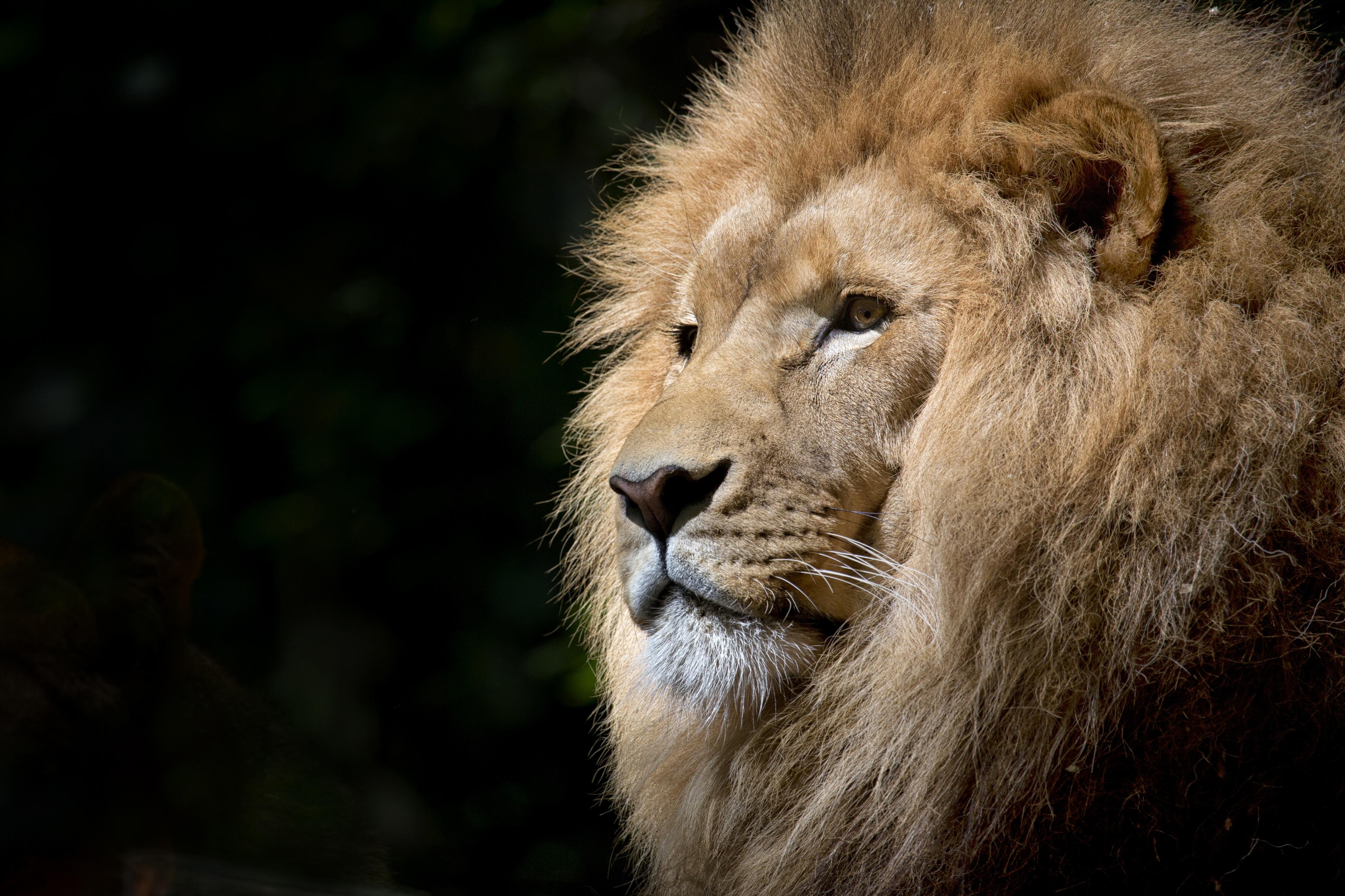 Pexels Leão